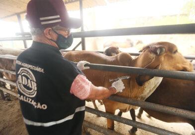 3,5 milhões de animais devem ser vacinados contra a febre aftosa até o fim de novembro na Bahia