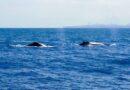 Salvador inicia primeira temporada turística de observação de baleias